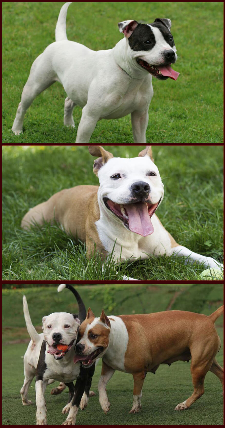 Some important information about the American Pit Bull Terrier