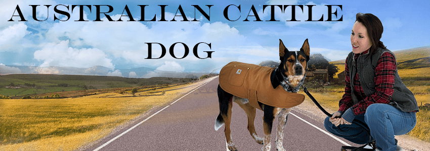 Some useful information about the Australian cattle dog for dog lovers
