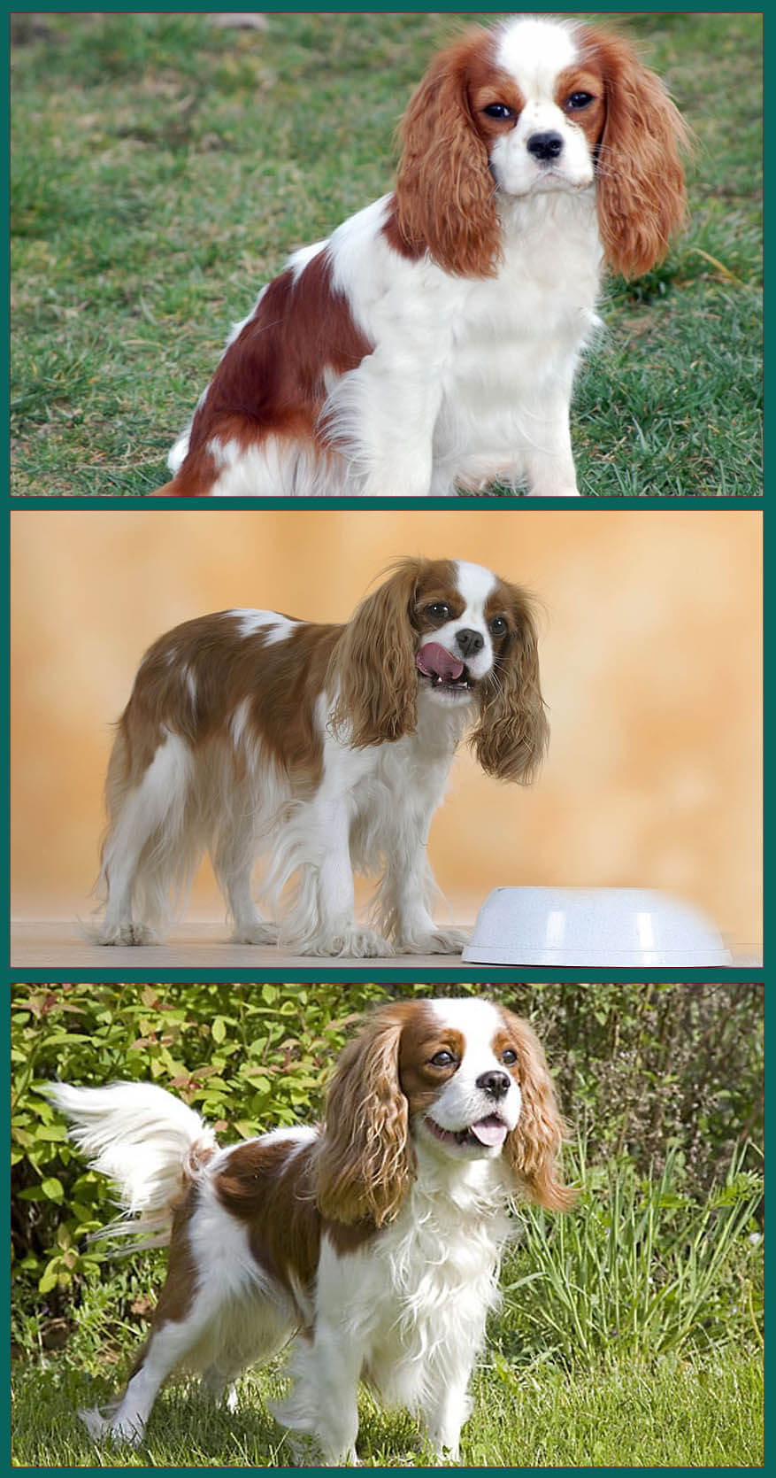 Some useful information about Cavalier King Charles Spaniel Dog