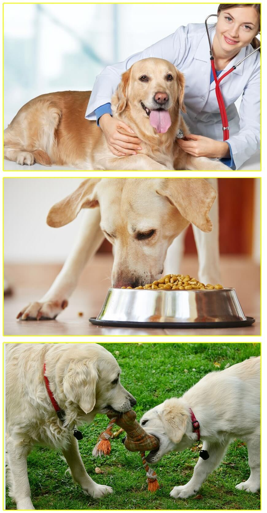 How to take care of the Golden Retriever for their optimal well-being