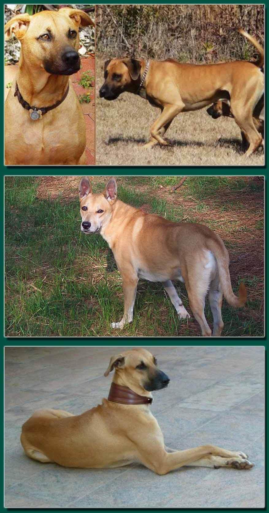 Indian Dog Breeds basic and useful Information for dog lovers