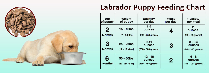 A Labrador Puppy Needs Balanced T Full Of Essential Nutrients For Its Growth What Little Pooch Eats Plays Vital Role In Making The Health