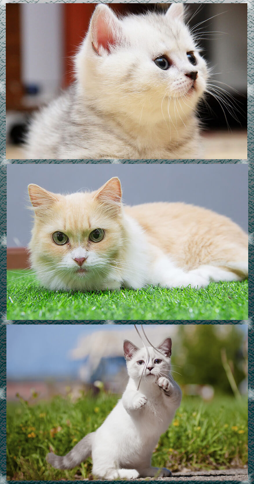 Some useful information about the Munchkin cat for feline lovers