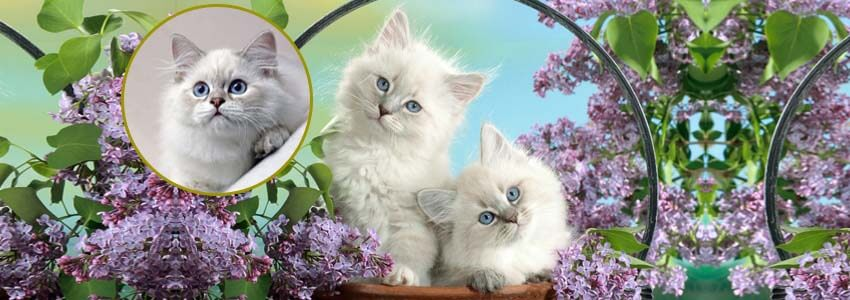 Some useful information about Persian cats for feline lovers