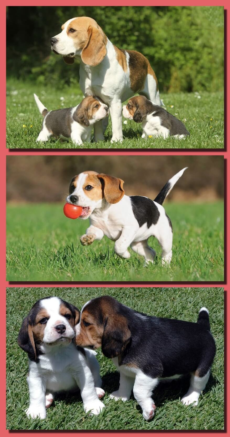 A Short Information on the Origination of Beagle Dog and its Training Tips