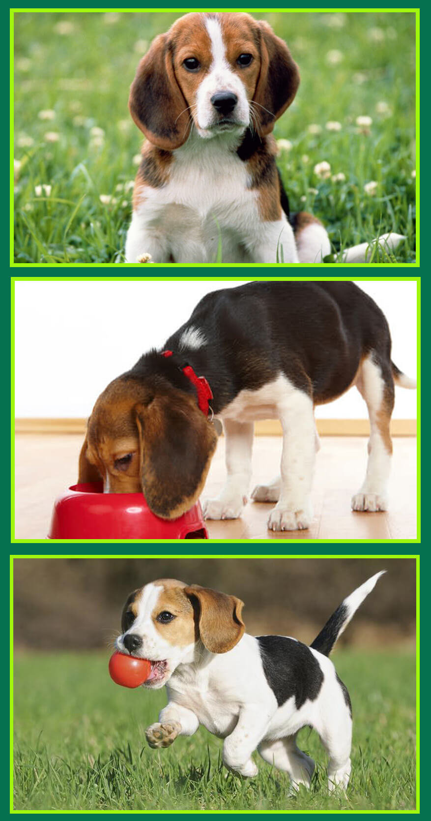 How to take care of your Beagle Puppy for its healthy growth