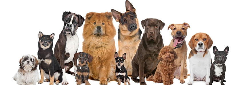 A small list of best dog breeds for the family that has children