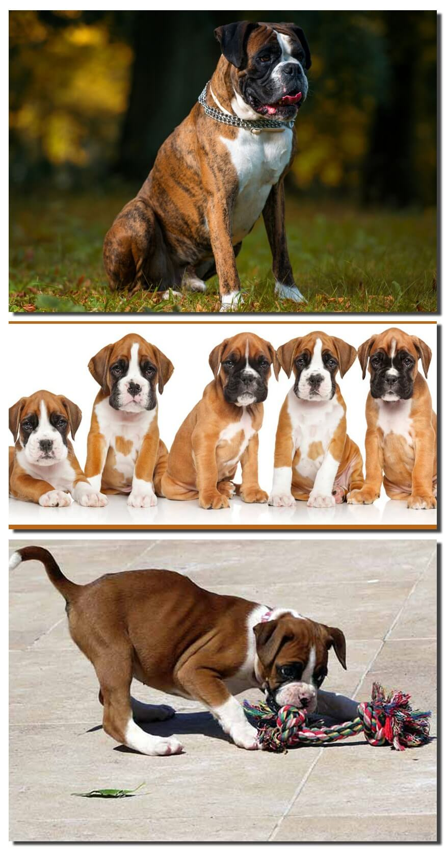 Essential Information of Boxer Dog along with the Feeding and Grooming Tips