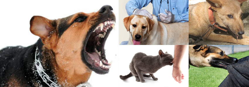 Symptoms of rabies and its protection through vaccination