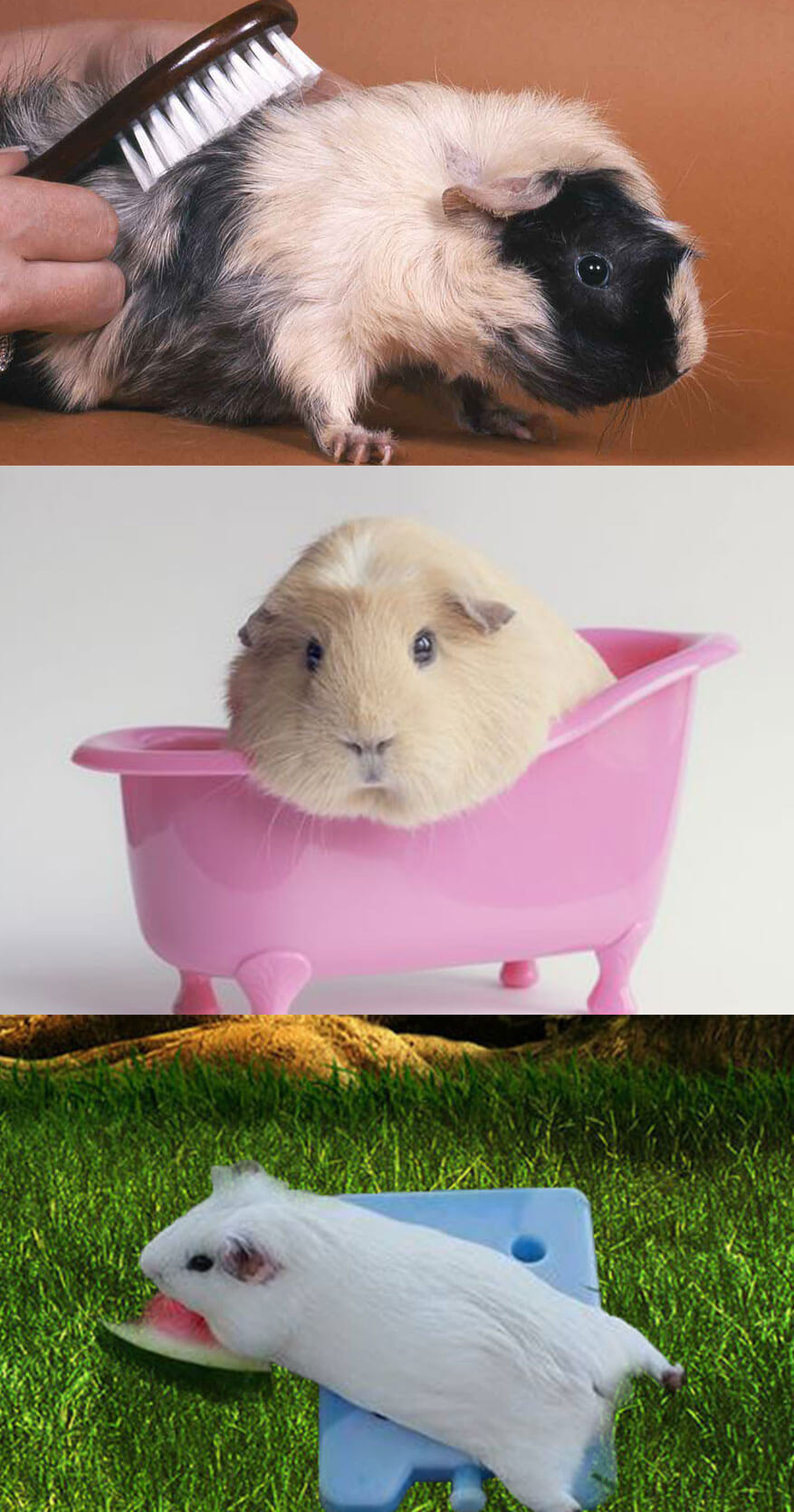 Some Amazing Tips to Take Care of Guinea Pigs in Summer
