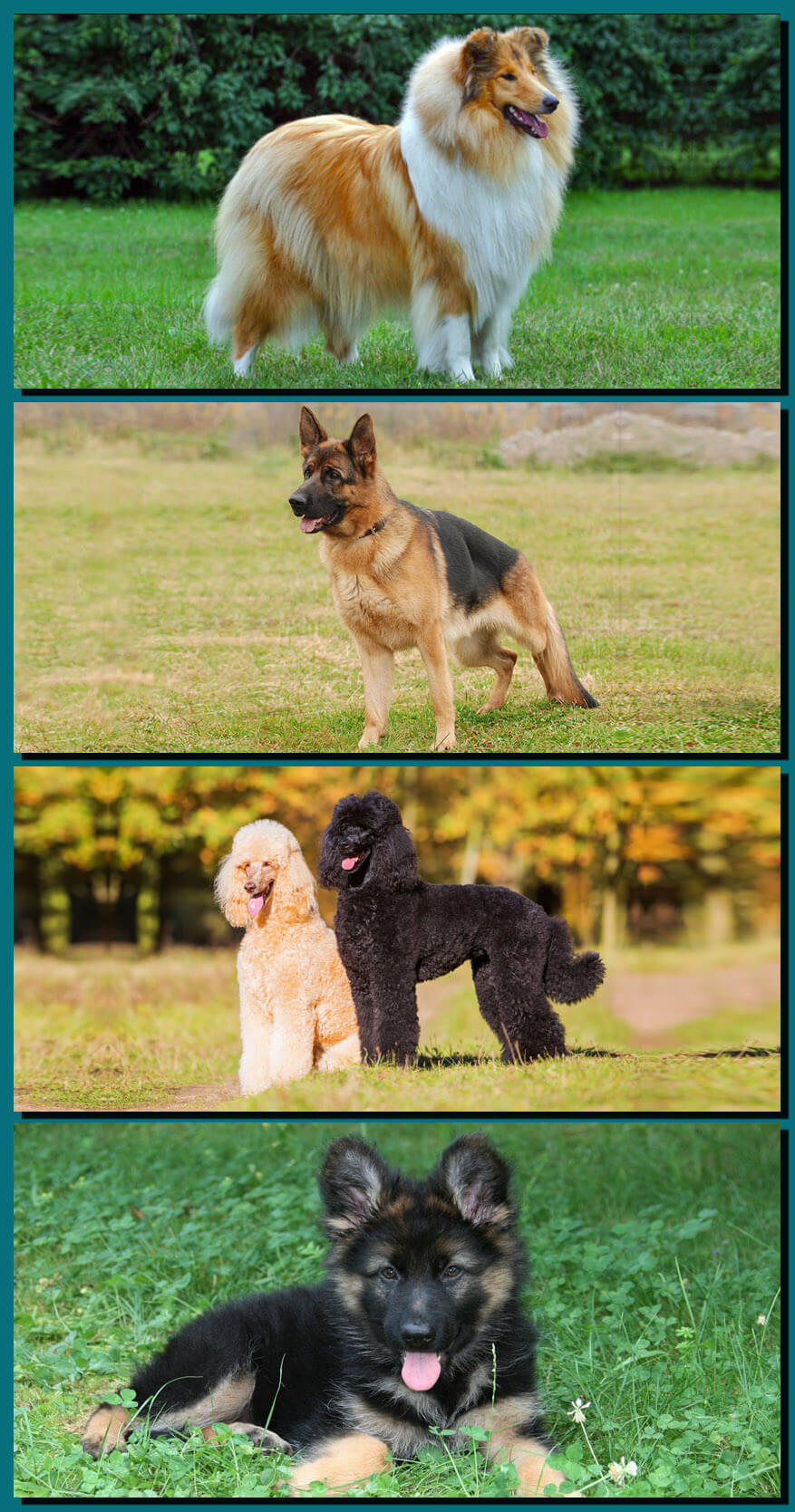 Some types of shepherd dogs and useful information about them