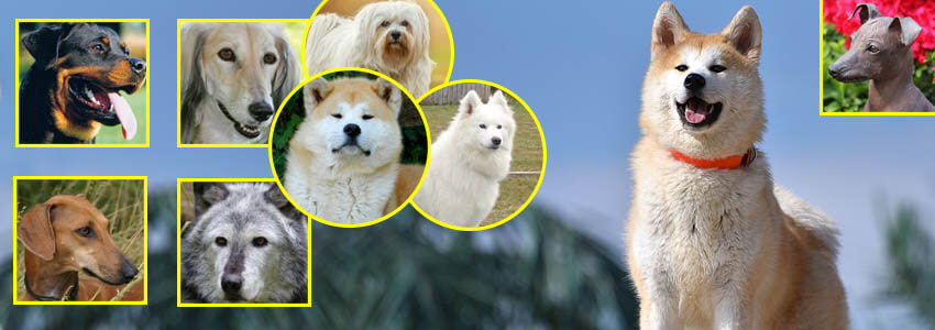 Top 10 Most Expensive Dog Breeds In The World - 4petneeds com