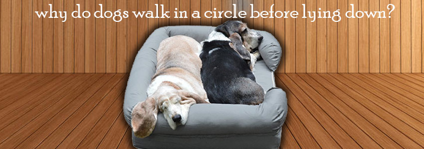 The Secret of Why do dogs walk in a circle before lying down?