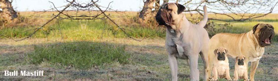 Bull-mastiff
