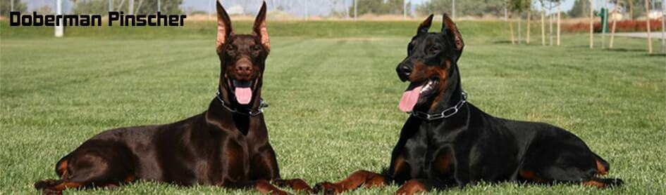 Dobermann-pinscher