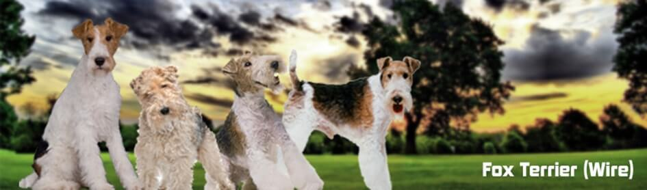 Fox-terrier-wire