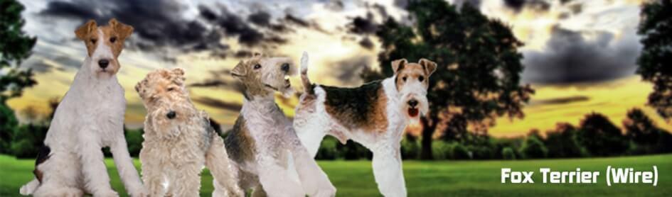 Fox-terrier-wire