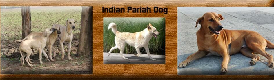 Indian-pariah-dog