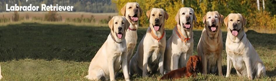 Labrador-Retriever-banner