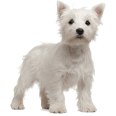 West-Highland-White-Terrier.png