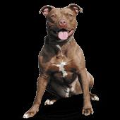 Pit Bull Terrier (American)