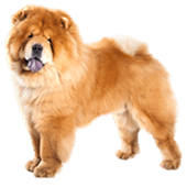 chow-chow.png