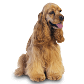 cocker-spaniel-english.png