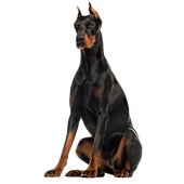 dobermann-pinscher.png