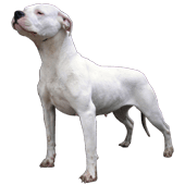 dogo-argentino.png