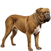 dogue-de-bordeaux-french-mastiff.png