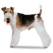 fox-terrier-wire.png