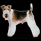 Fox Terrier (Wire)