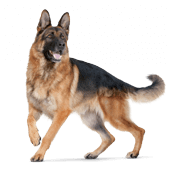 german-shepherd.png