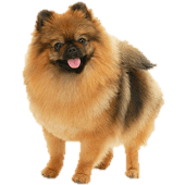 german-spitz.png