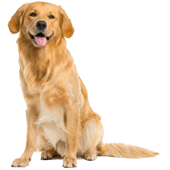 golden-retriever.png