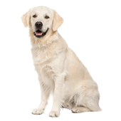 labrador-retriever.png