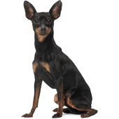 miniature-pinscher.png