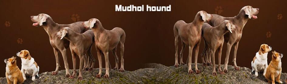 mudhol-hound