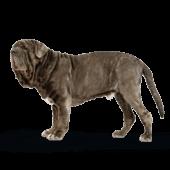 Neapolitan Mastiff (Italian Mastiff)