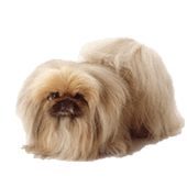 pekingese-dog.png