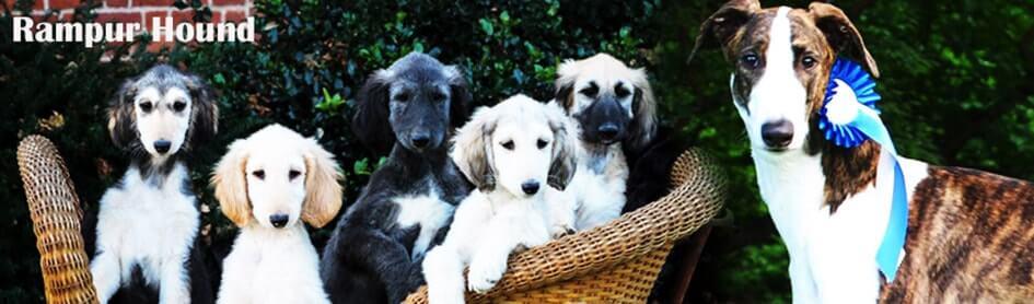 rampur-hound