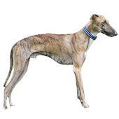 rampur-hound.png
