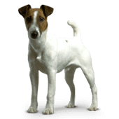 smooth-fox-terrier.png