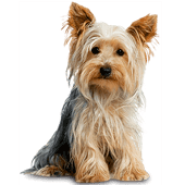 yorkshire-terrier.png